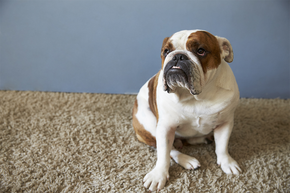 Pet British Bulldog Sitting On Carpet